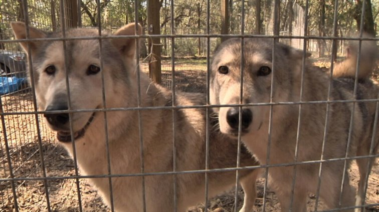 Big oak wolf sanctuary