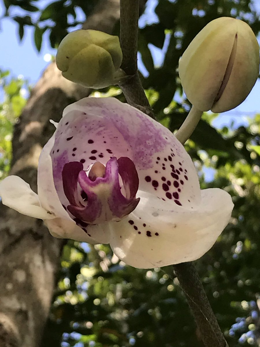 This ravishing #Phalaenopsis #orchid is just unfurling it&#39;s petals in the tree behind my shed. Absolutely gorgeous speckles of dusty pink. <br>http://pic.twitter.com/7Q1AE9WxKf