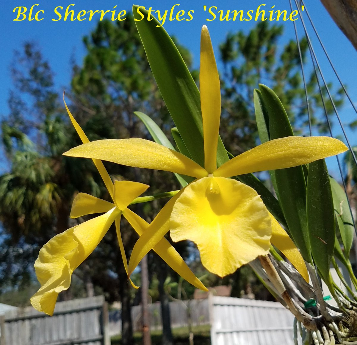 This beauty is in a 4 inch basket and the flowers are huge compared to the plant! #orchids, #brassavola, #flowers, #cattleya<br>http://pic.twitter.com/KxMUZpRJjf
