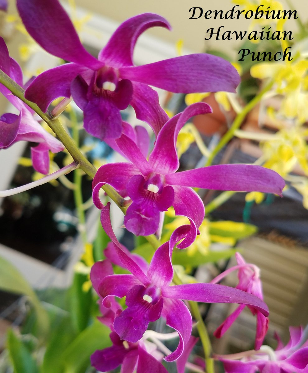 I am loving the Dendrobiums feisty attitude this week, in spite of being stuck in the garage for days. #orchids, #dendrobiums, #antelope<br>http://pic.twitter.com/FhsgGVEoFY