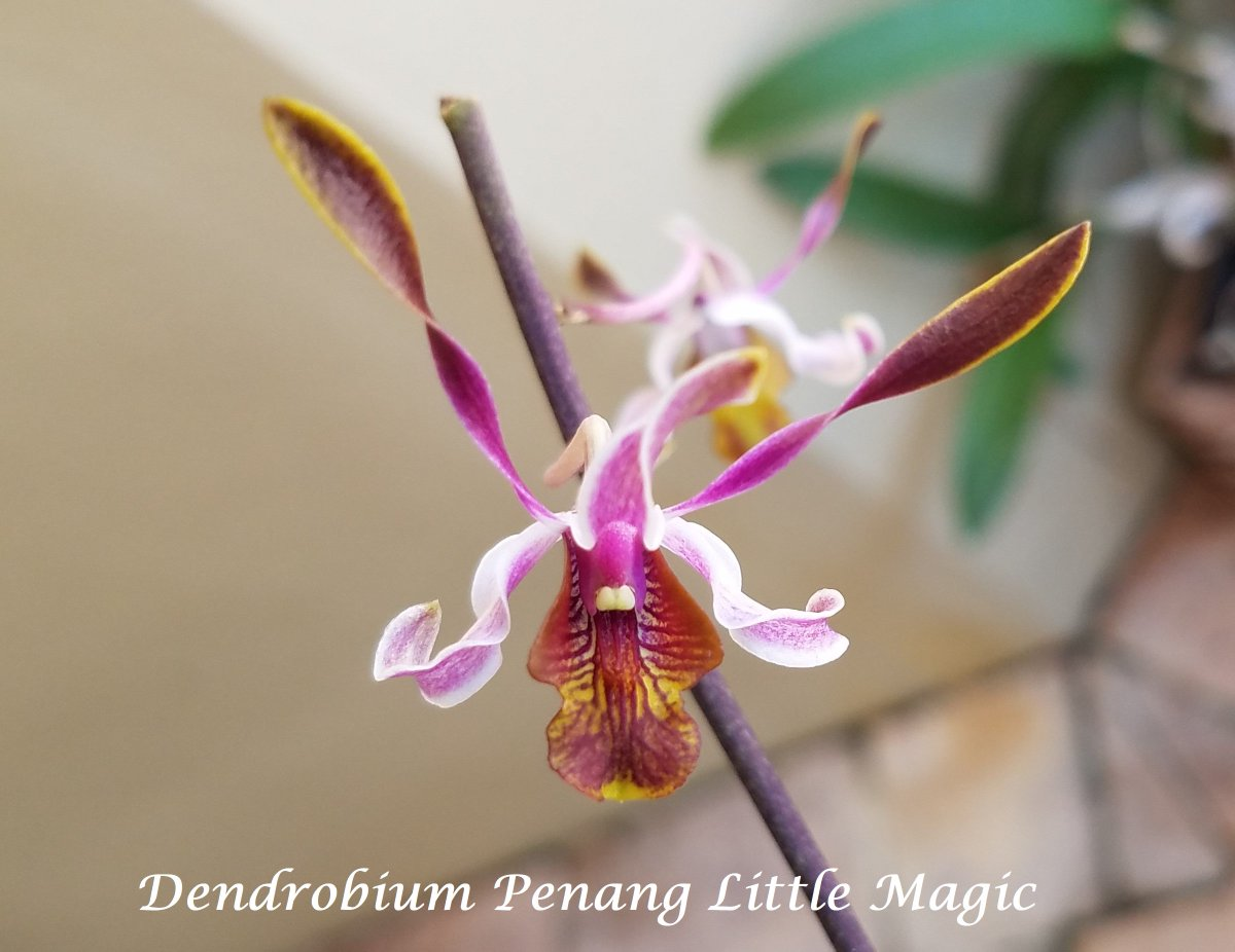 These little guys are too cute. I plan on mounting them on a tree shortly. #dendrobium, #orchids, #antelopeorchid, #tinyflowers<br>http://pic.twitter.com/AlLcMAdf7D