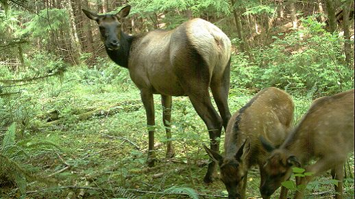 We have long been working to improve elk foraging habitat on the Forest   with @RMEF  http:// bit.ly/2jKVwkb  &nbsp;   #WildlifeWednesday <br>http://pic.twitter.com/Gq3LLf1woH