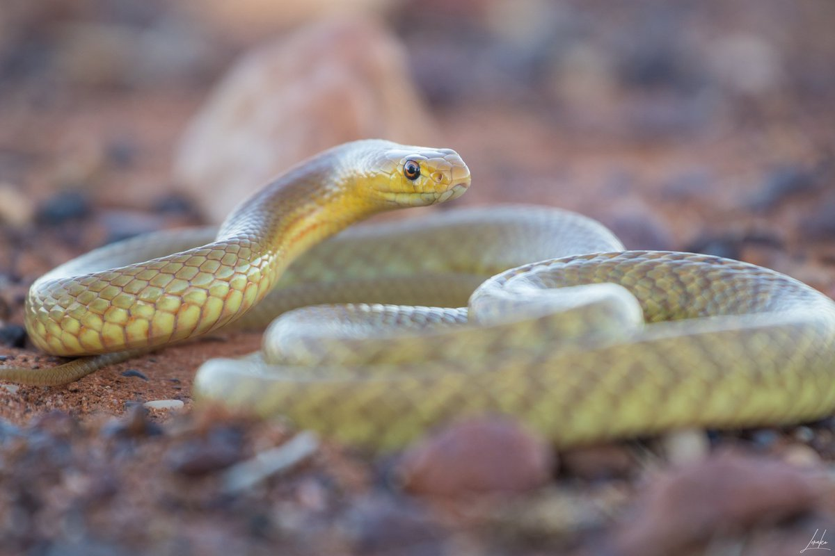 Stunning western brown &lt;3 photographed last week in the outback! #wildoz #pseudonajamengdeni #snakes <br>http://pic.twitter.com/ON93Y0JKVO