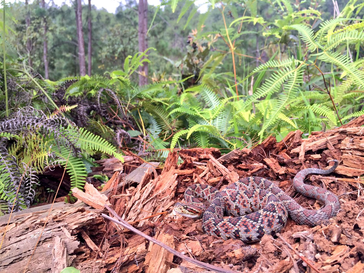 A Guerreran Long-Tailed #Rattlesnake photographed this weekend in the Sierra Madre del Sur of Guerrero #herpetology<br>http://pic.twitter.com/w28l8uy5MG