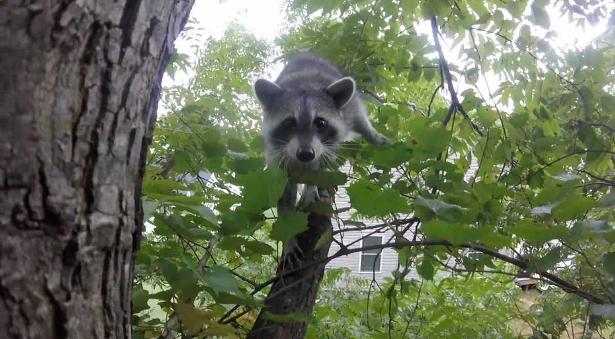 tito the raccoon titotheraccoon twitter