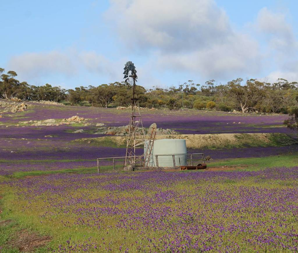 It&#39;s a shame that the purple flowers are a weed. #westernaustralia #justanotherdayinwa #patersonscurse #windmill #…  http:// ift.tt/2xw3R0f  &nbsp;  <br>http://pic.twitter.com/YrWBGf6E3F