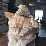 じっと耐えてる姿がかわいい頭の上にトカゲを乗せている猫