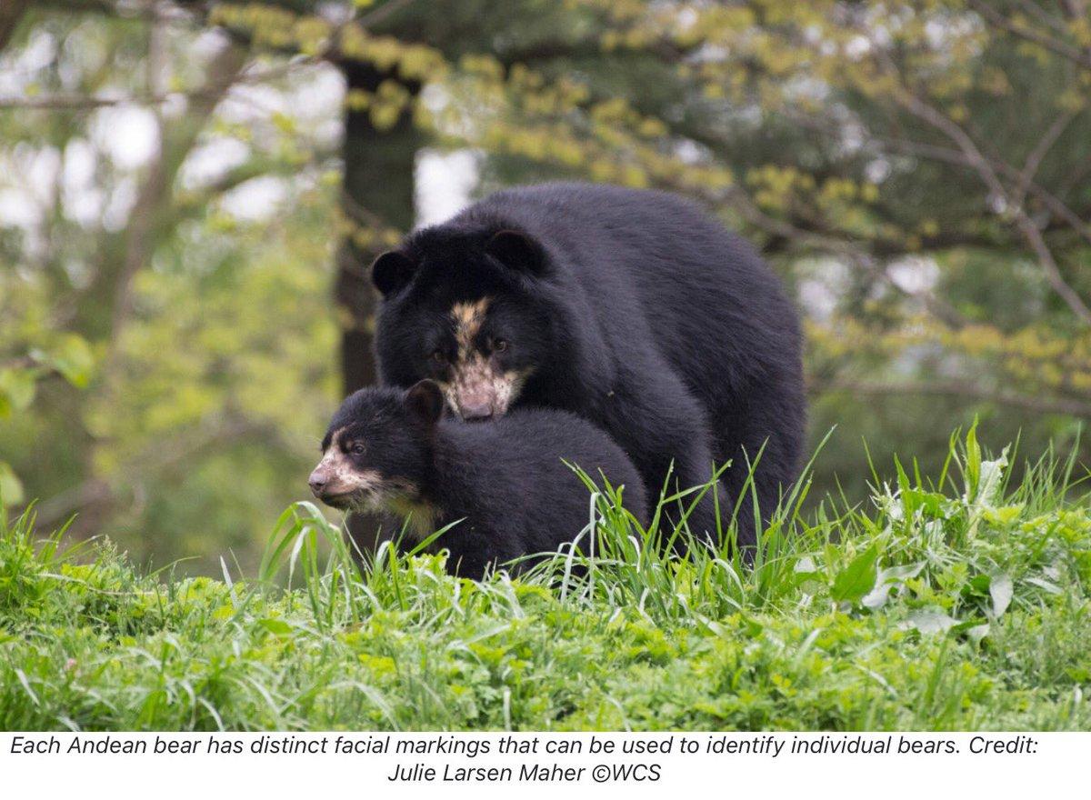 South America's Adorable #AndeanBear | Scott Silver &amp; Julie Larsen Maher for @Mongabay  https:// news.mongabay.com/2017/09/photos -south-americas-adorable-andean-bear/ &nbsp; …  via @Mongabay #conservation <br>http://pic.twitter.com/AL6ZkXpjJN