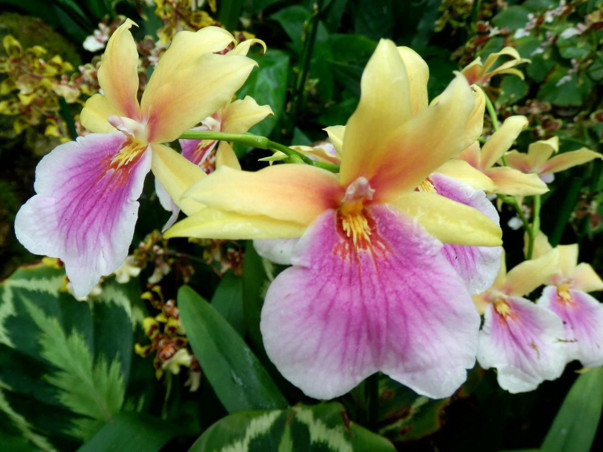 Miltonia&#39;Sunset&#39; #Orchid <br>http://pic.twitter.com/EF69DtsNN1