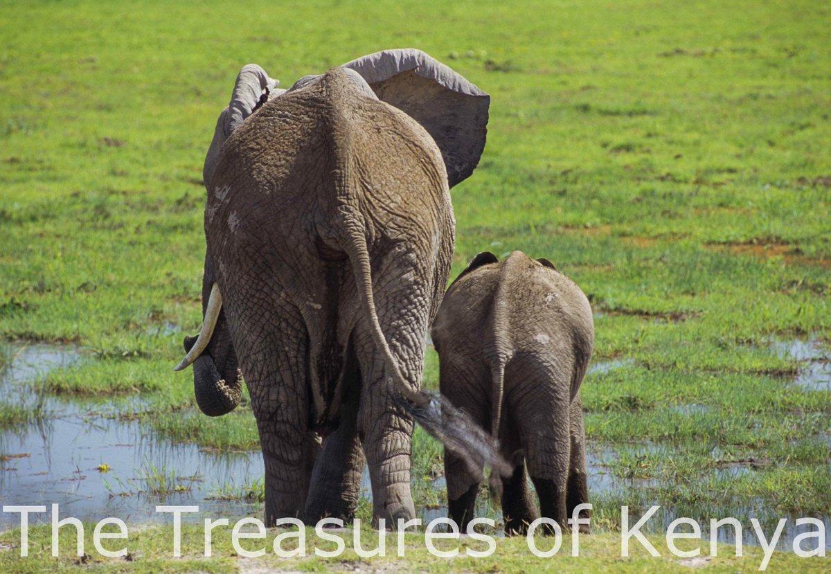 An awesome sight; Mama and baby elegantly amble to their favorite spot on the marshland at Amboseli NP. #WildlifeWednesday #TreasureKenya<br>http://pic.twitter.com/IJnzL9ktiM