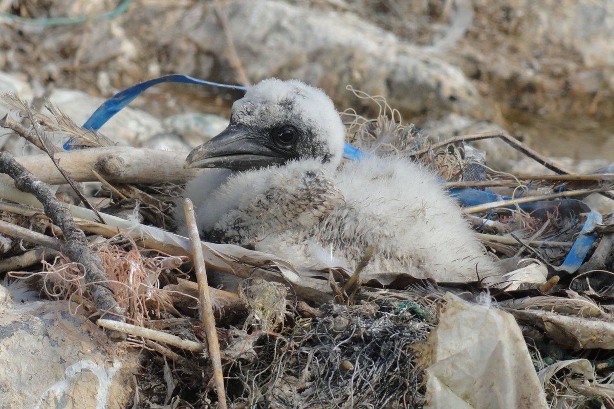 NEW PAPER Seabirds &amp; marine plastic debris in the northeastern Atlantic @TheLabAndField @Nina_OHanlon #ornithology  http://www. sciencedirect.com/science/articl e/pii/S0269749117322224 &nbsp; … <br>http://pic.twitter.com/YIBHRQzYiZ