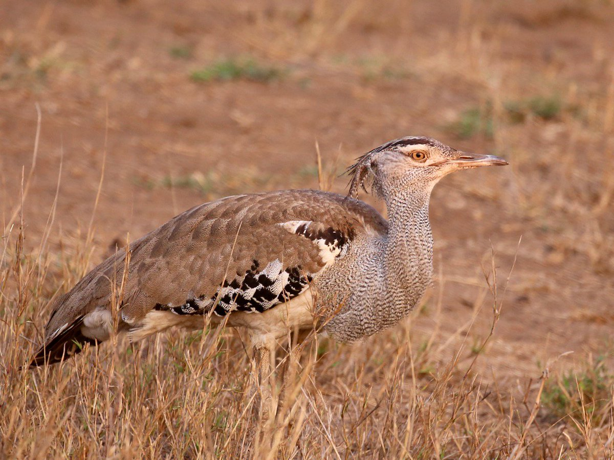 A Kori Bustard; the largest flying bird native to Africa, in the @SANParksKNP . #birding #Kruger #S Africa. <br>http://pic.twitter.com/VRjC4qtbCY