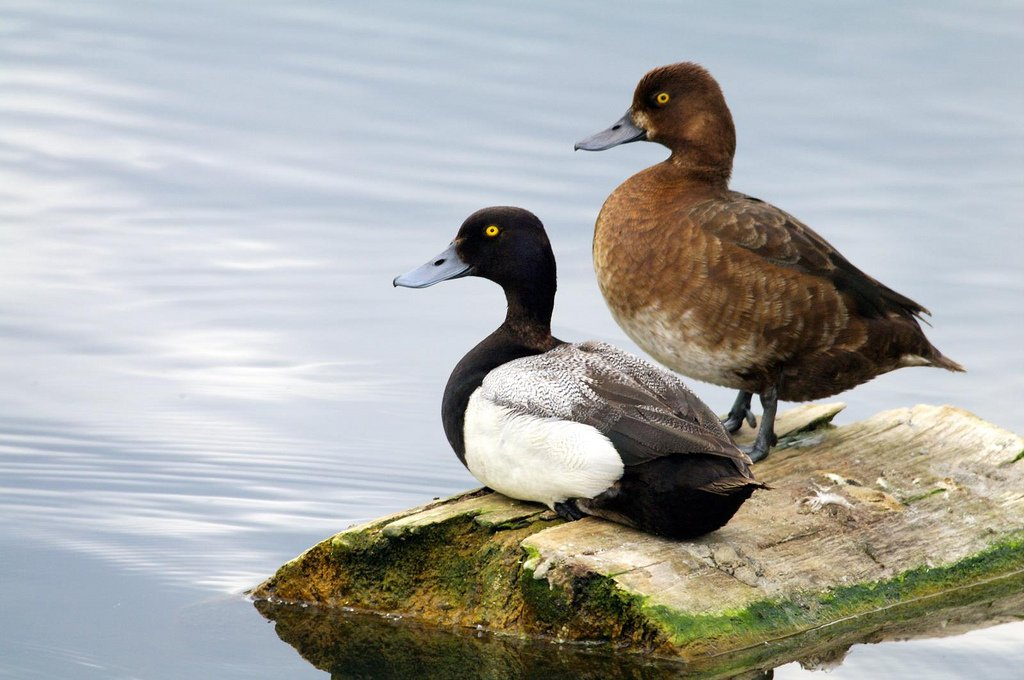 When male ducks hang out together their dicks get longer https://t.co/evfEFc7zTN