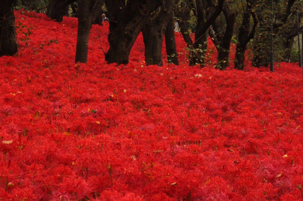 曼珠沙華、なぜこんなにも綺麗な花が死を連想させるのだろう。 天皇陛下が日高市に行くとのことで混雑を予想して行くのをやめ、かわりに幸手の権現堂行ってきた。 権現堂もなかなかのもんでしょ?