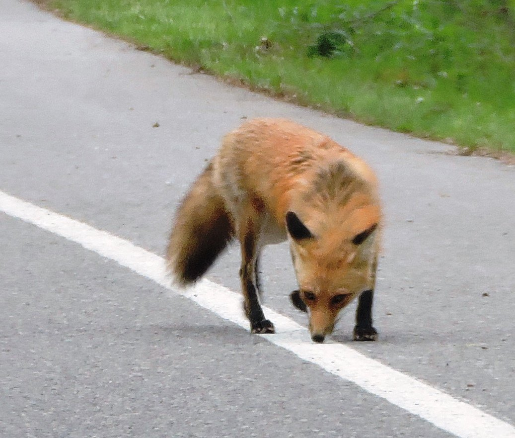Drive slow around the loop and who knows what you will see. #Skunks #deer #foxes #rabbits #snakes #frogs #Raccoons #owls #wildlifeWednesday<br>http://pic.twitter.com/nEovgxi0IT