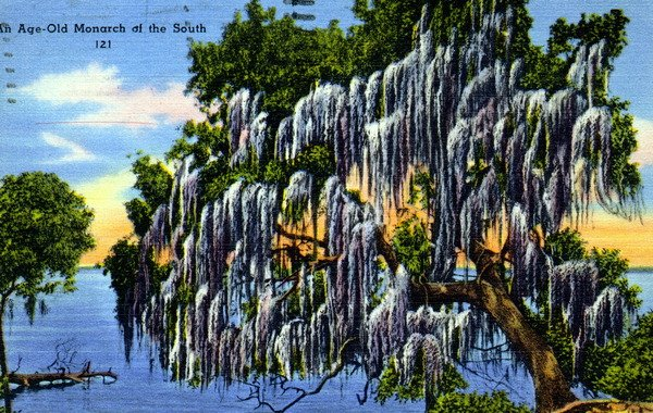 Postcard of an age-old monarch of the South. #liveoak:  http:// bit.ly/2wwVIJH  &nbsp;  <br>http://pic.twitter.com/cGcKI730Kp