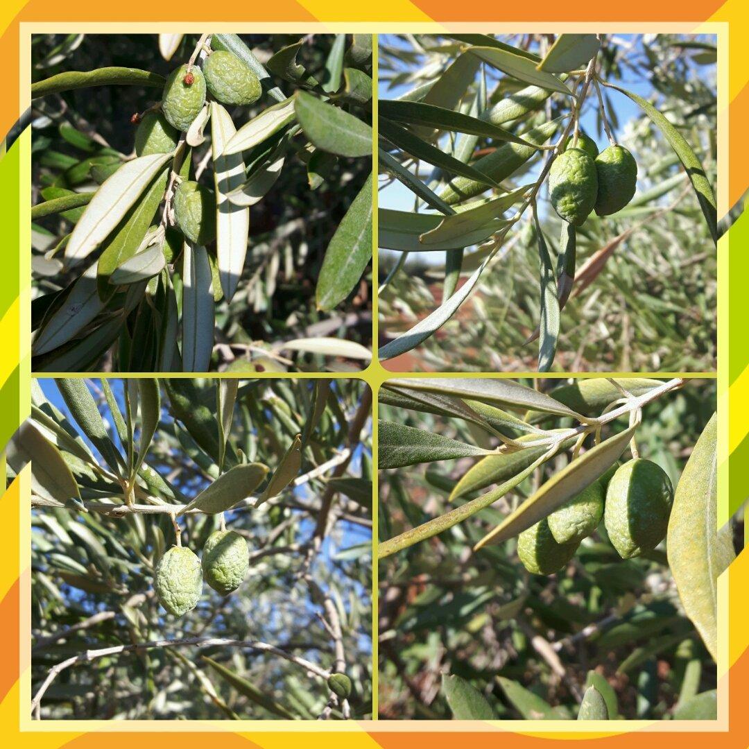 Así nos encontramos la aceituna en distintos puntos del Campo de Montiel. El.olivar necesita agua ya!!!!