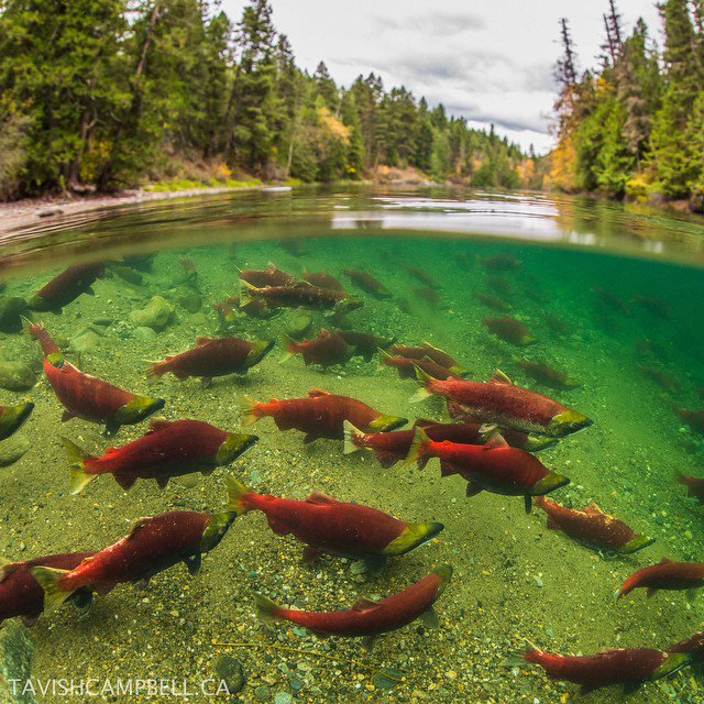 A4. Pack a picnic and head to @helloBC's rivers to see hundreds of sal...