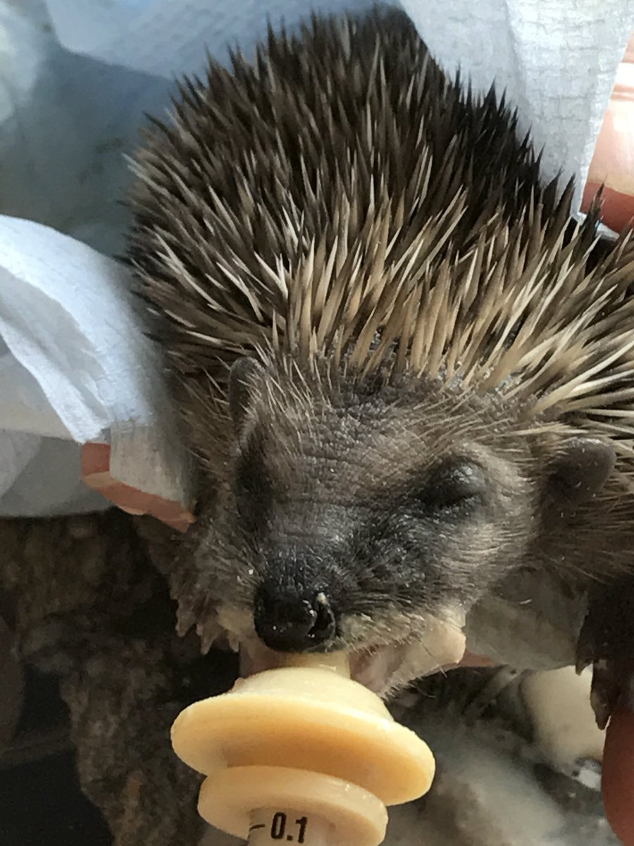 Digby will be opening his eyes soon #Cornwall #charity #hedgehogs<br>http://pic.twitter.com/c8PlmriuQH