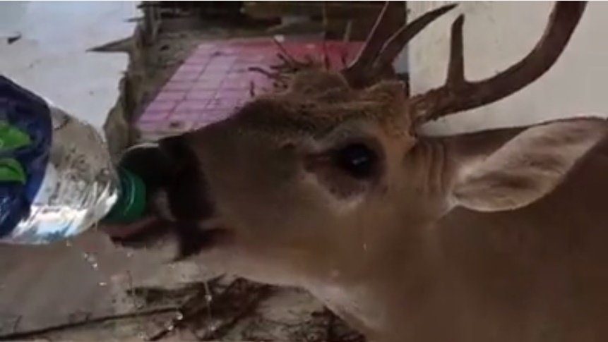 Adorable Video: First responders come to deer's rescue https://t.co/r68UGhijKT