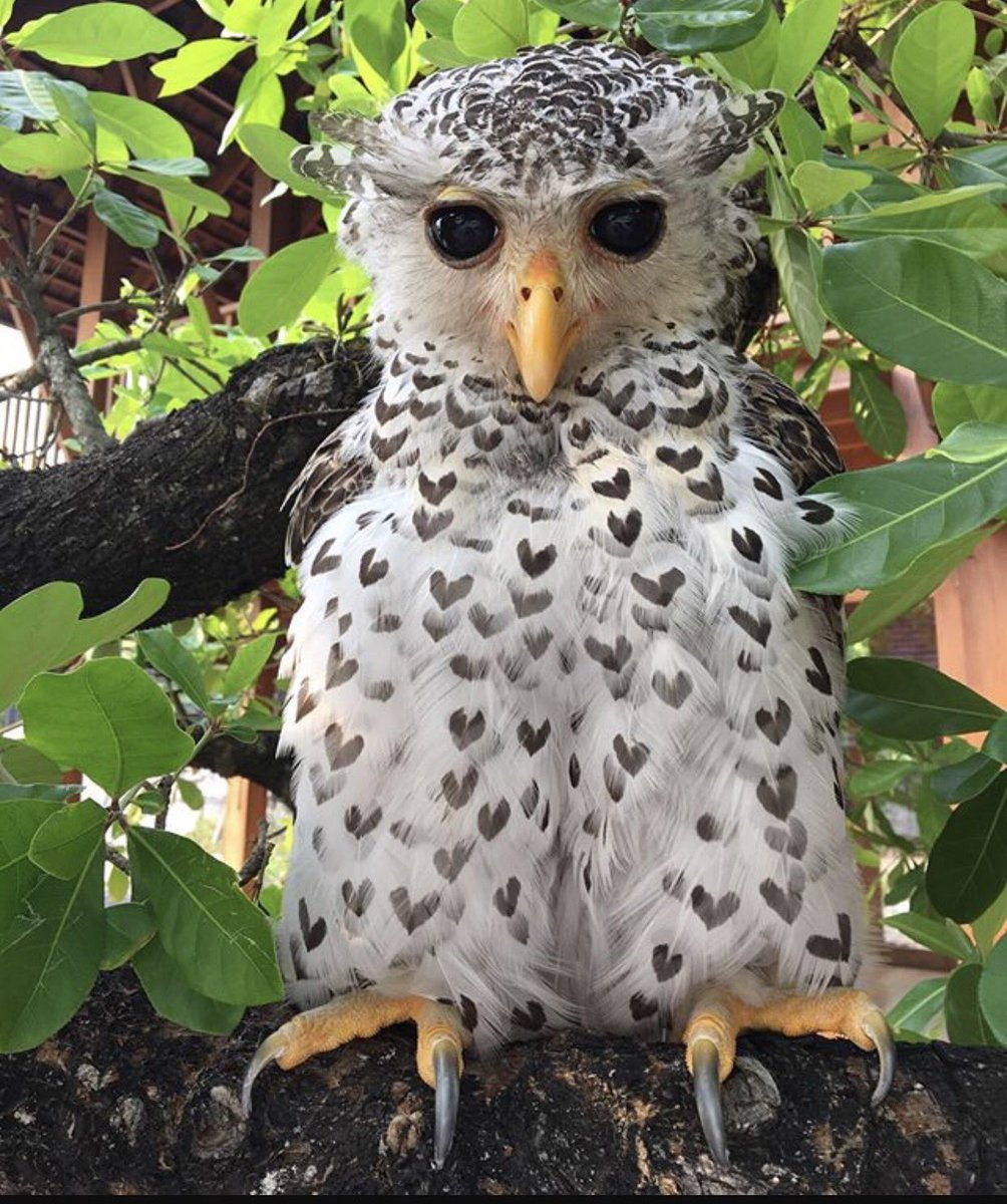 Happy #wildlifewednesday everyone! This is a spot-bellied eagle-owl. <br>http://pic.twitter.com/Iwa3p6NjtY