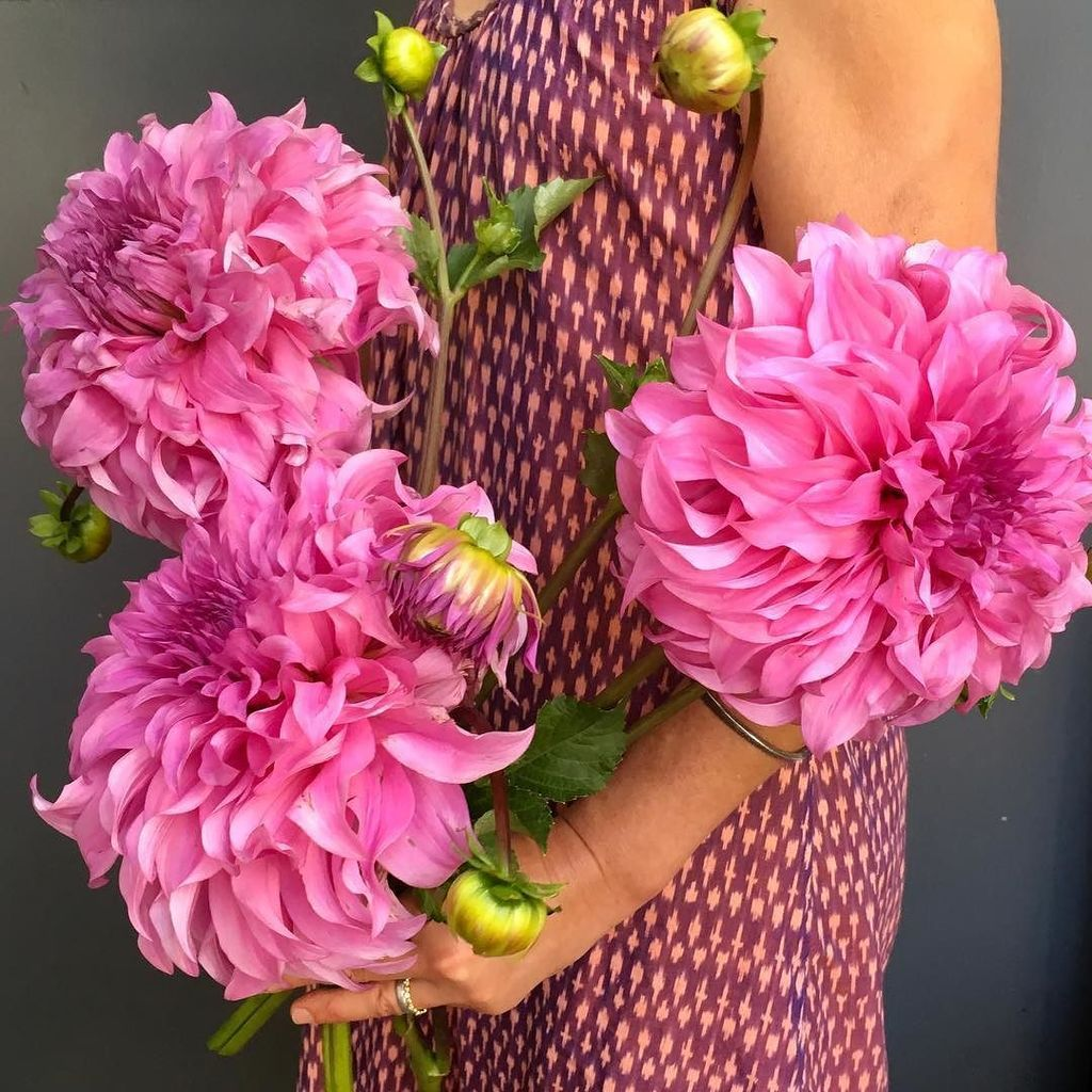 I can hardly stand it  #dinnerplate #dahlia #pink #pollenflowers  #atlantaflorist #gardendesignmag #dsfloral #f…  http:// ift.tt/2wH5MuC  &nbsp;  <br>http://pic.twitter.com/dbhQyWey3Q