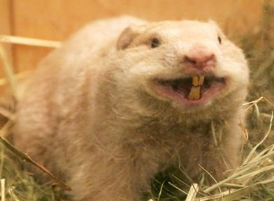 Pug-nosed albino groundhog that has served as Wiarton Willie for 11 ye...