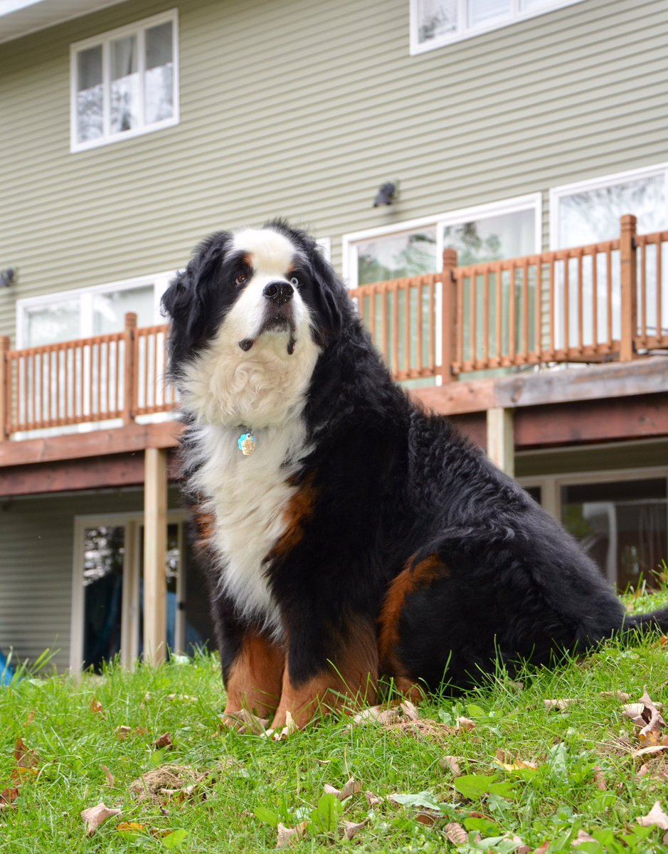 Proudly keeping his yard cleared of critters! Happy day, pals! #WoofWoofWednesday #BerneseMountainDog <br>http://pic.twitter.com/Ih3hgmHrKQ