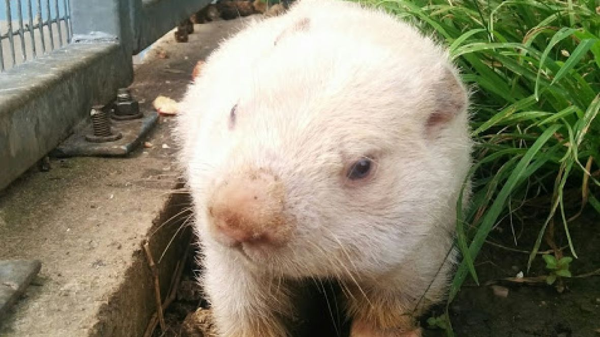 RIP Wiarton Willie: Spring prognosticator dies at 13 https://t.co/xqPH...