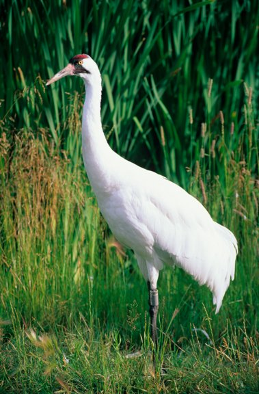 What is the tallest bird in North America? The Whooping Crane! It can grow up to 4.9 ft with a 7.5 ft wingspan. #WildlifeWednesday <br>http://pic.twitter.com/sZVDhm5JQP