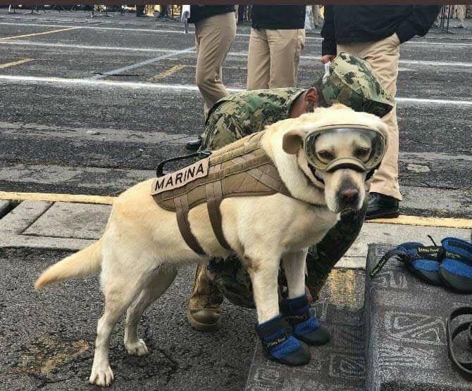 メキシコ地震でこの救助犬は50人以上の命を救いました。