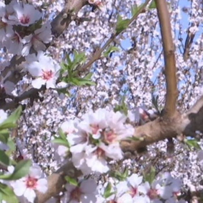 Watch: More nuts with fewer bees possible through #almond industry innovation. New varieties bred here at #Waite!  https:// buff.ly/2fziV3p  &nbsp;  <br>http://pic.twitter.com/DsUq06SFhL