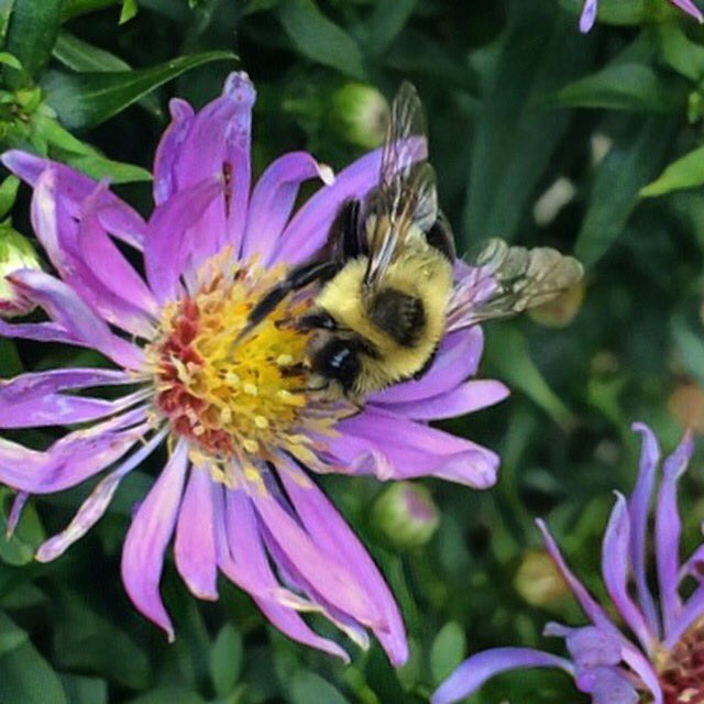 bumblebee on new york aster  #iphoneography <br>http://pic.twitter.com/h0hSkkAOaC