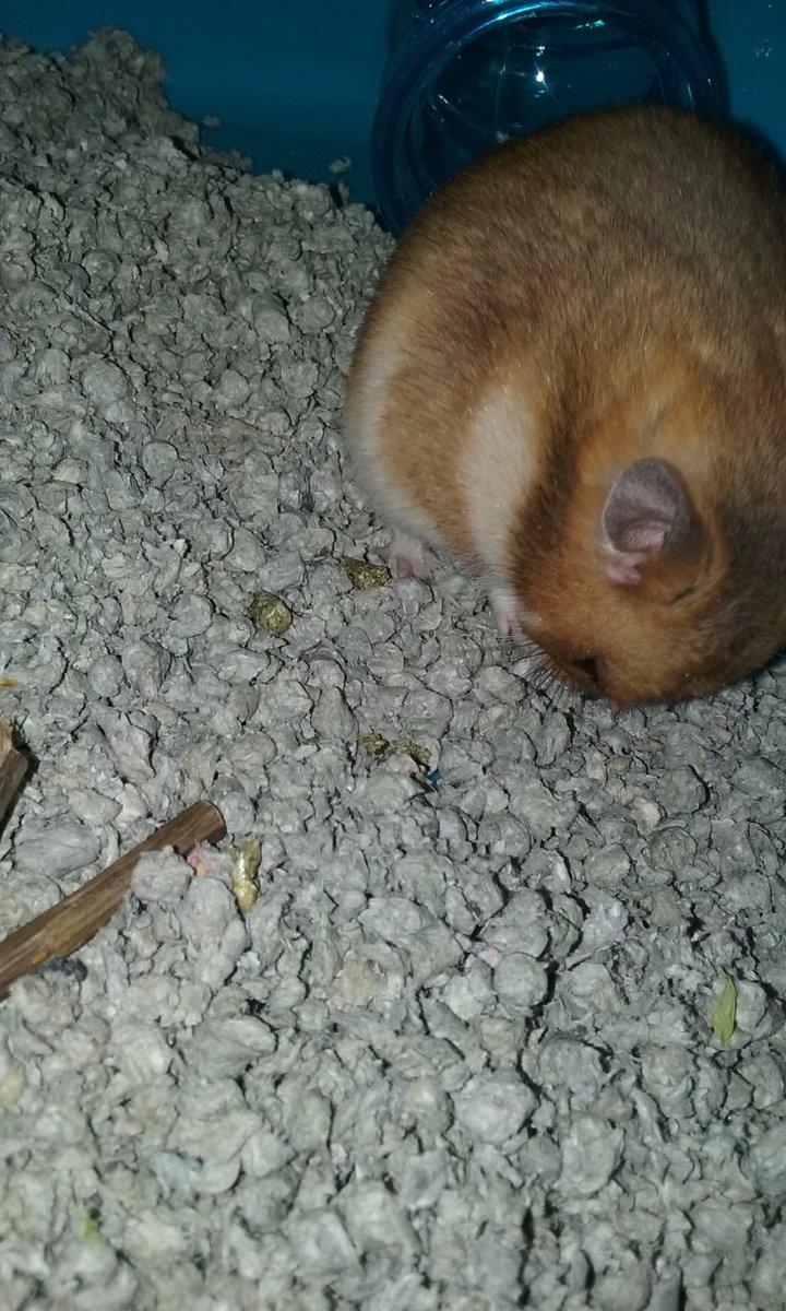 After hamster