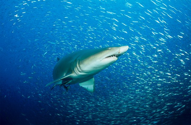 #Sharks live for way longer than thought, with big implications for conservation strategies  http://www. nature.com/news/bring-on- the-bodynet-1.22643?WT.ec_id=NEWSDAILY-20170920?WT.ec_id=NEWSDAILY-20170920 &nbsp; … <br>http://pic.twitter.com/LcTEOMeqHZ