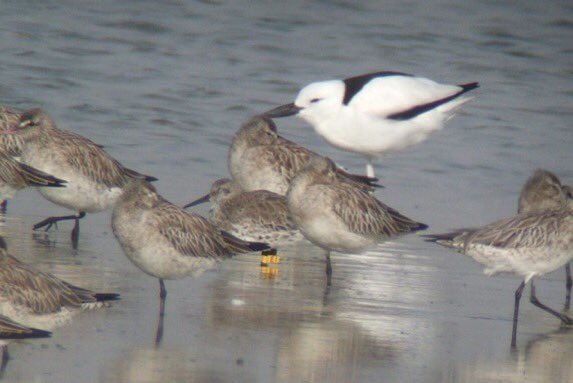 Is Great Knot &#39;EI&#39; on his way back to UAE? #migration #ornithology #osmeregion  http://www. osme.org/content/knot-% E2%80%98ei%E2%80%99-again &nbsp; … <br>http://pic.twitter.com/l04EsLxZeg