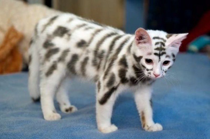 Have you ever seen a #cat with such unusual markings? It's known as th...