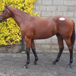Just purchased this stunning colt by Tamayuz to be trained by @omeararacing shares available now  DM for details #jointhegallop