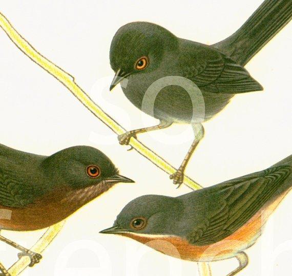 1961 Warbler, Wood Warbler, Leaf Warbler, vintage Bird Print, #Ornithology, nature wall art  http:// jto.li/s9cJT  &nbsp;  <br>http://pic.twitter.com/k7sIaPAuGQ