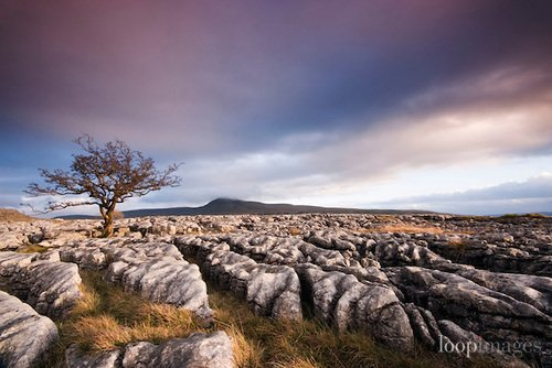 Twisted and withered tree growing through limestone pavement on the slopes of Whernside @rnwhalley #YorkshireDales #Yorkshire #threepeaks<br>http://pic.twitter.com/bIiObW7H8J