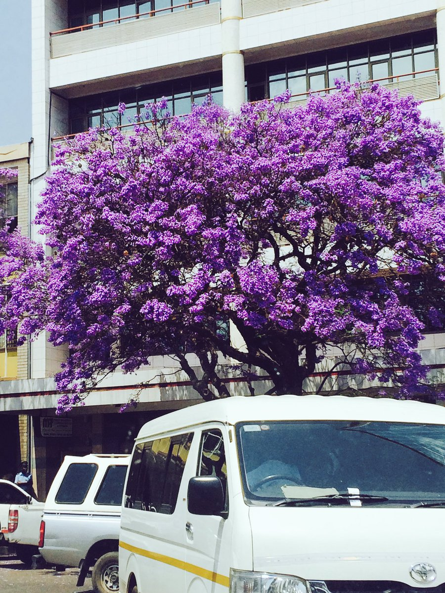 It&#39;s that time of the the year again when #Harare turns #purple #beautiful #Zimbabwe #jacaranda #trees <br>http://pic.twitter.com/4v0tilAUYK
