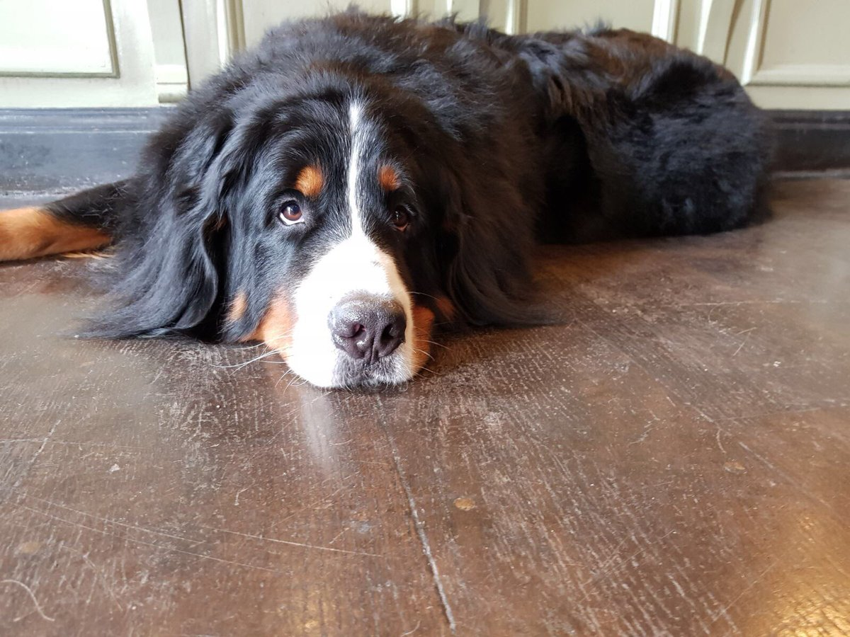 My Dad left me alone for a whole 30 minutes  #BerneseMountainDog <br>http://pic.twitter.com/hRBrDTm65u