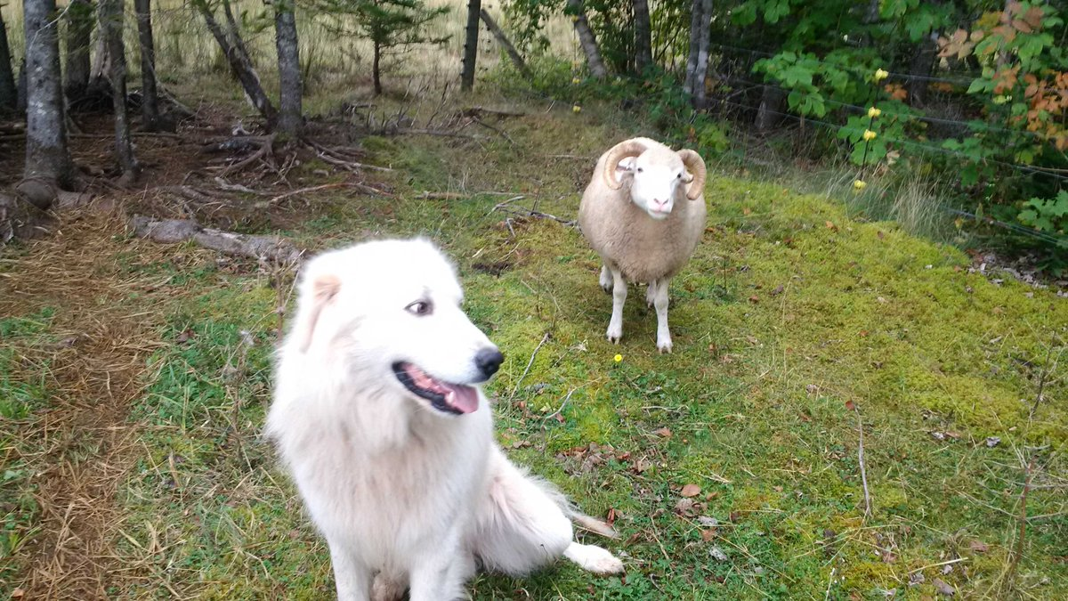This sheep seems to have a strange attraction to Apollo and will occasionally follow him around the field #sheep365 <br>http://pic.twitter.com/PWMUlVBF9Q