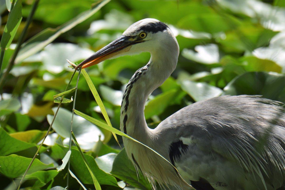 Grey heron #birds #wildlife <br>http://pic.twitter.com/ozAmrkB8Ov