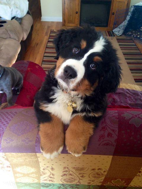 Today&#39;s adorable puppy is a Bernese Mountain Dog, doing his best head tilt! #bernesemountaindog @PuppiesHQ @TheDaiIyPuppy @dogcelebration<br>http://pic.twitter.com/x0rmgKD7Gm