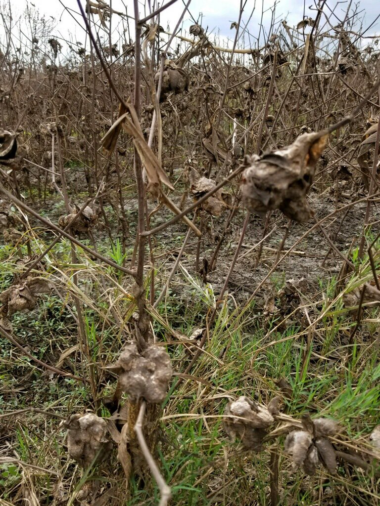 What #Harvey left behind in Texas. This cotton crop was under four feet of water. <br>http://pic.twitter.com/62jsZ0jMkY