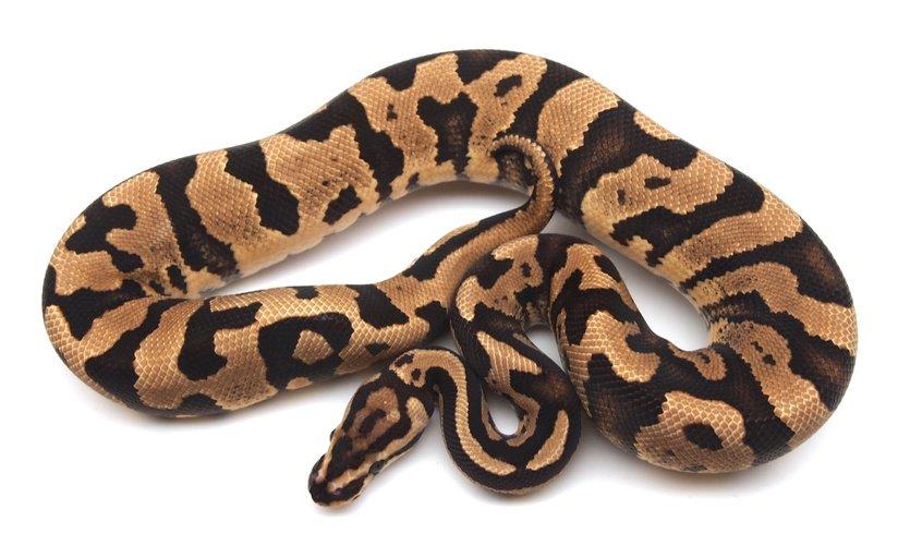 Static Combo Male Ball Python by Kicks Balls, $25000 #snakes #morph #herps #herp #reptiles #morphs #reptile #pet  https://www. morphmarket.com/us/c/reptiles/ pythons/ball-pythons/90326?utm_source=twitter&amp;utm_medium=post&amp;utm_content=90326&amp;utm_campaign=twitter-featured-ad &nbsp; … <br>http://pic.twitter.com/6mRR9JDPER