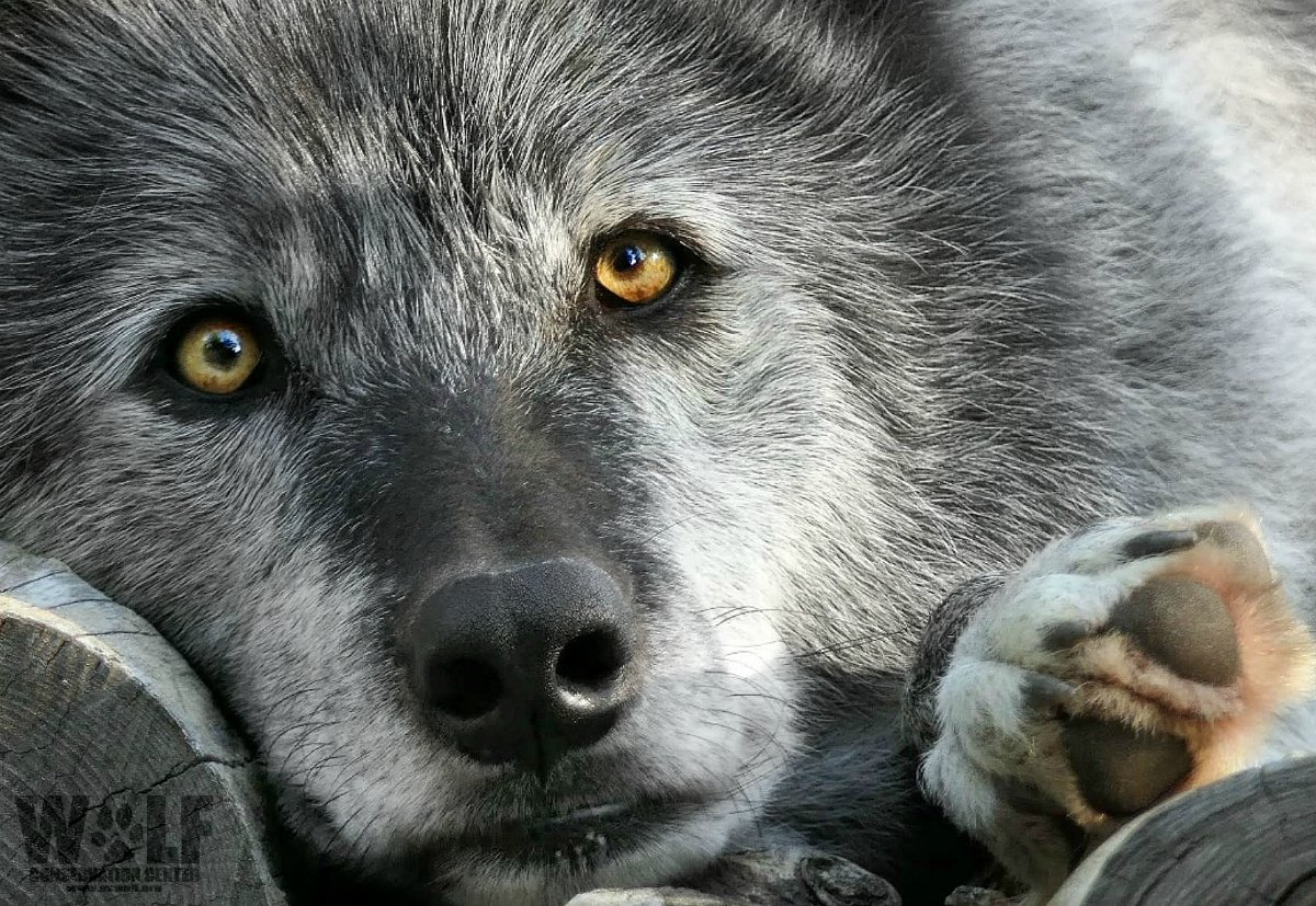 Slash action4ifaw Thank you, Slash! #StopExtinction <br>http://pic.twitter.com/LcoC84Fxcd  https:// twitter.com/nywolforg/stat us/910896865926885376 &nbsp; …