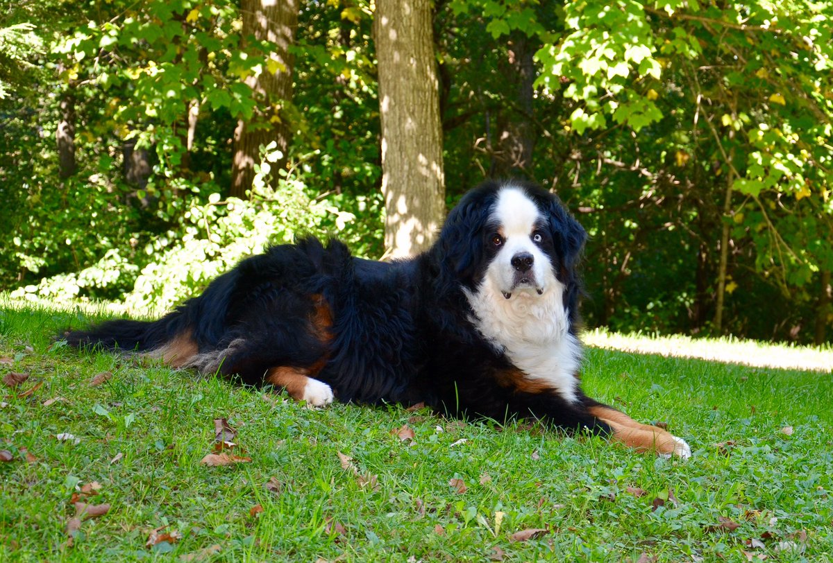 Happy Thursday, pals! Hope you have a wonderful and blessed day!  #BerneseMountainDog <br>http://pic.twitter.com/w4J28s3dGS