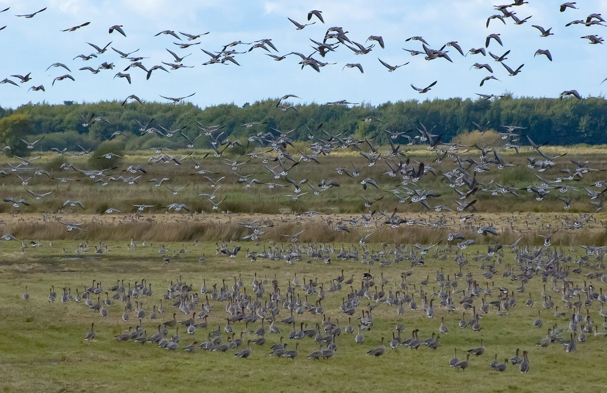 Thousands of Icelandic Pink Footed Geese @WWTMartinMere @WWTworldwide #migration <br>http://pic.twitter.com/qSstOPadl1
